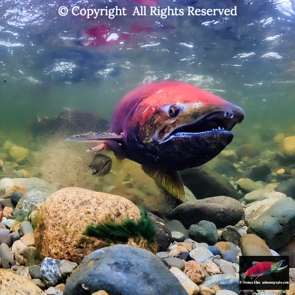 A jack tags along as a female Chinook Salmon covers her redd