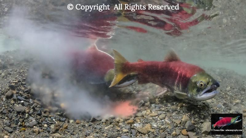 Sockeye Salmon female beginning to cover her redd