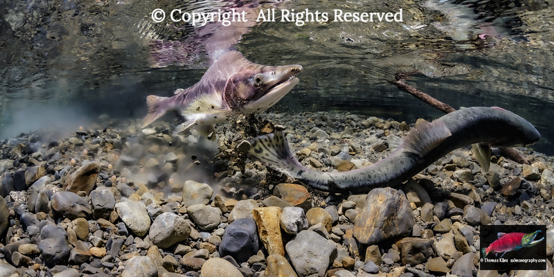 A female pink salmon makes her first covering dig