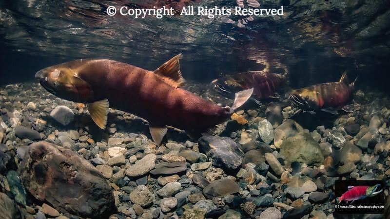 Coho Salmon covering her redd