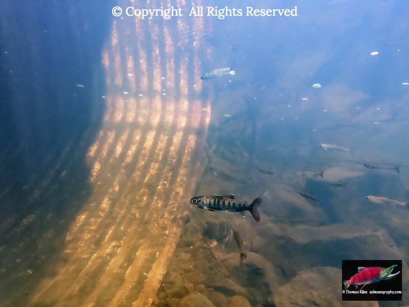 Coho Salmon juveniles downstream of a culvert
