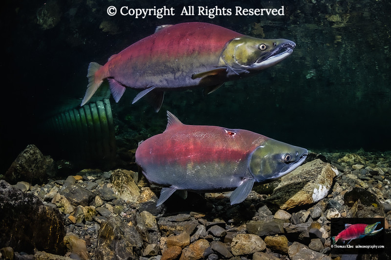 Sockeye Salmon pair upstream of a culvert