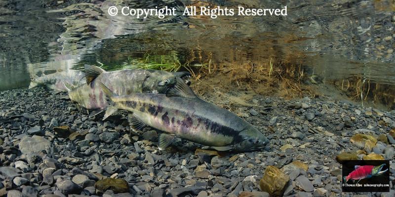 Chum salmon dipping