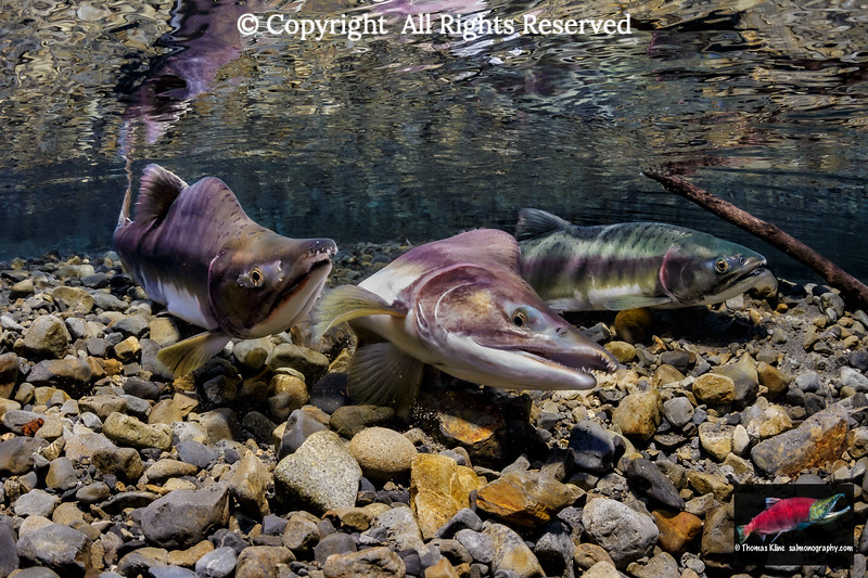 A male Pink Salmon exhibits frustration by making a displacement activity dig