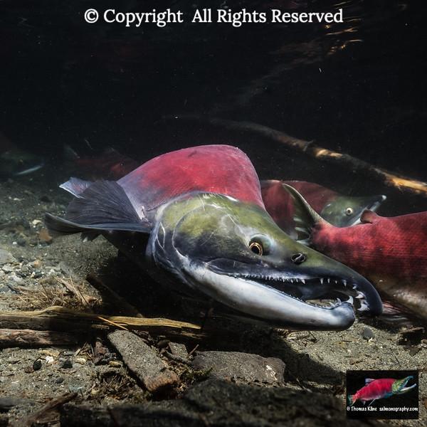 Male Sockeye Salmon digging