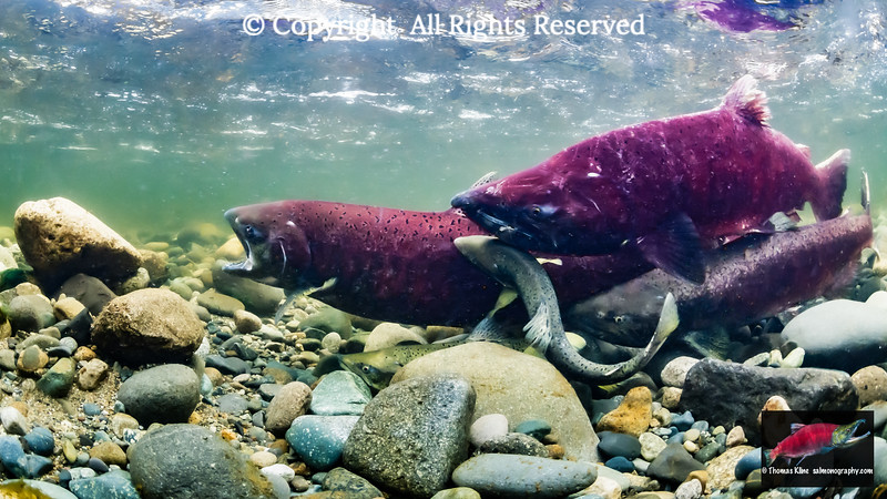 Female Chinook Salmon instigating overly eager males including two jacks to false spawn