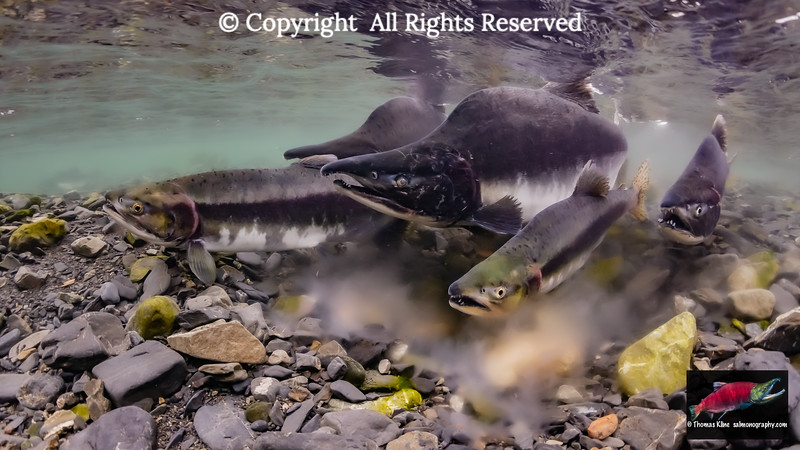 Pink Salmon false spawning