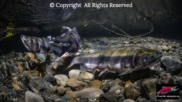 Fighting Pink Salmon males