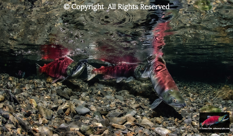 Female Sockeye Salmon being attacked by another female