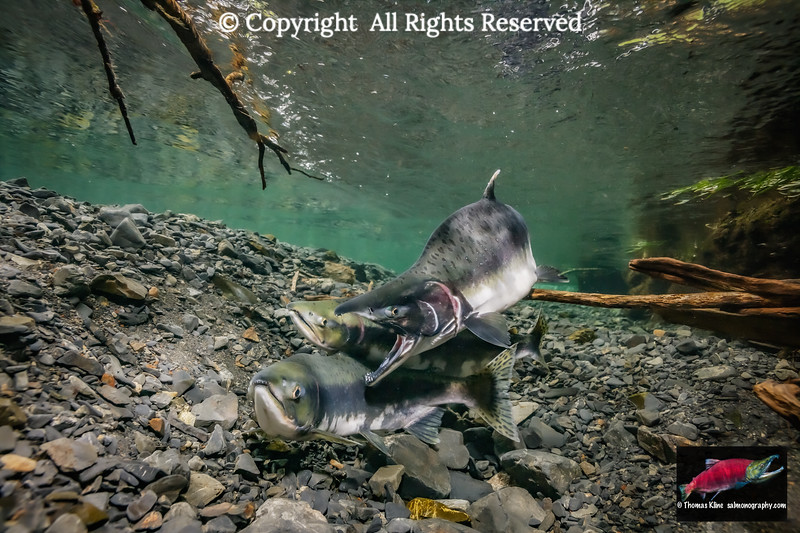 Pink Salmon alpha male attacks a sneaker male