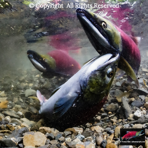 Female Sockeye Salmon biting another