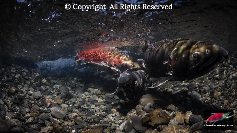 Fighting Coho Salmon males
