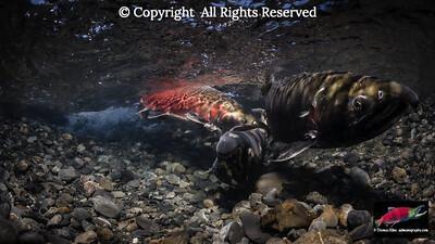 Fighting Coho Salmon males