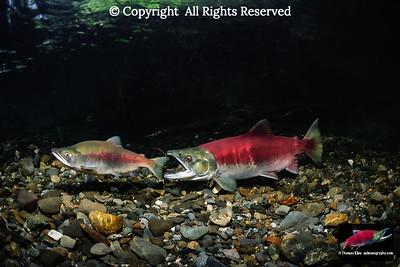 Sockeye Salmon female attacking a jack.
