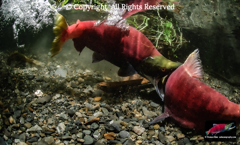Male Sockeye Salmon attacking a competitor