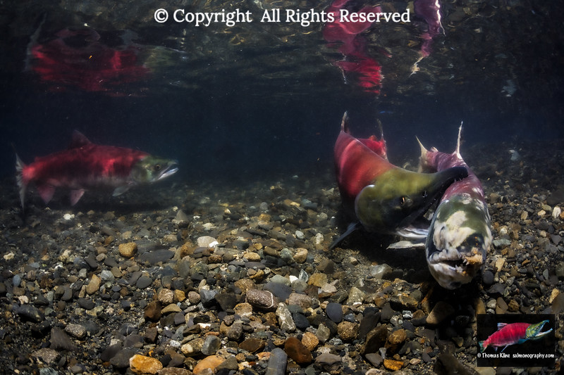Male Sockeye Salmon forcibly evicting a spawned out female