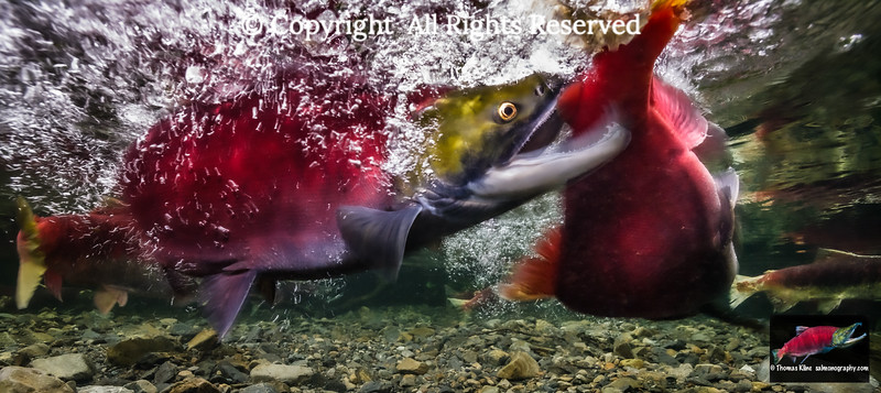 Fighting Sockeye Salmon