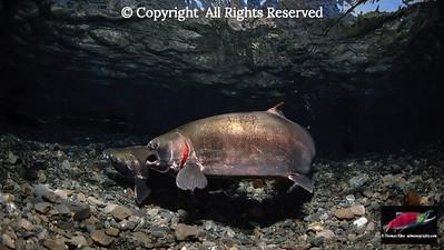 Coho Salmon female aggression