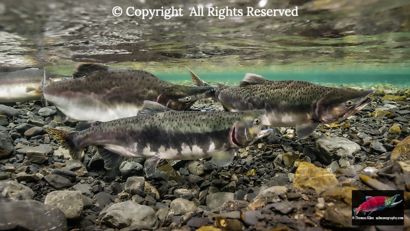 Male and female Pink Salmon gaping
