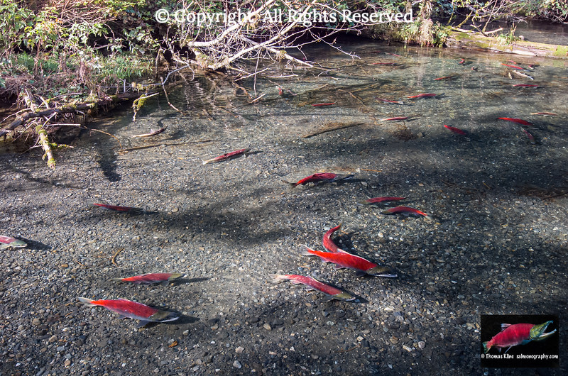 Sockeye Salmon spawning habitat