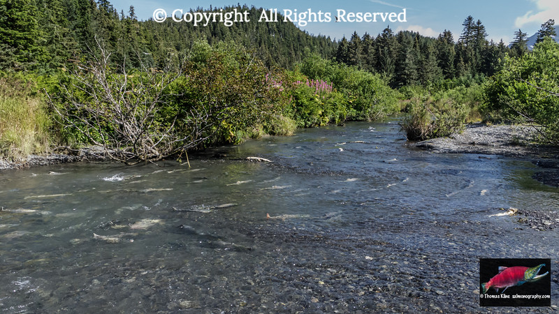 Chum Salmon spawning habitat