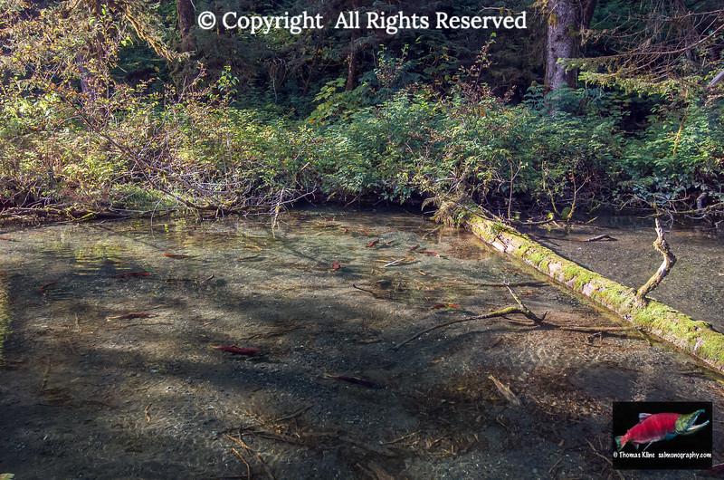Sockeye Salmon spawning habitat