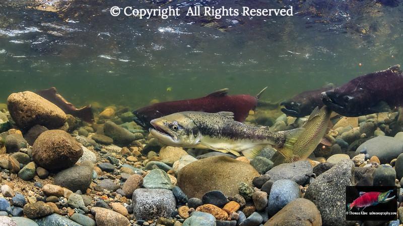Jack Chinook Salmon