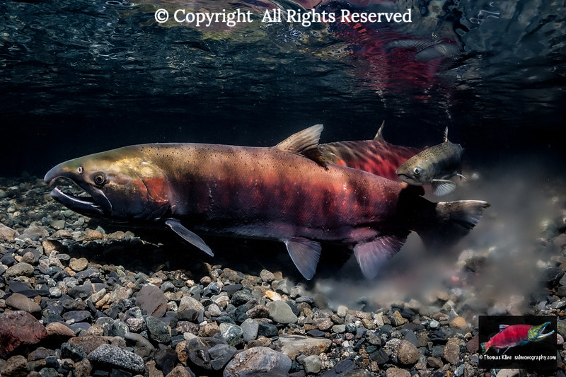 Coho Salmon  after spawning with a jack