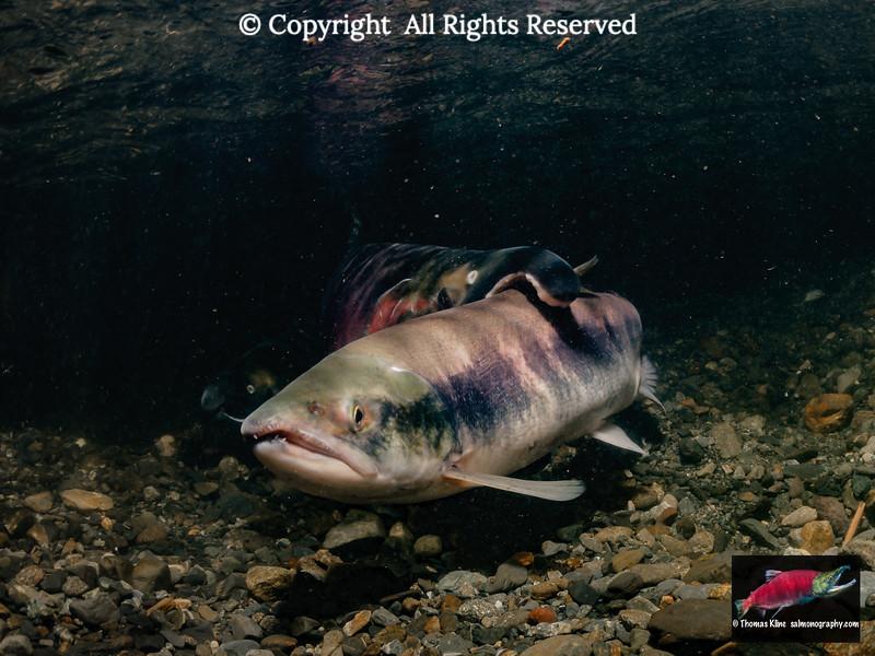 Sockeye Salmon jack