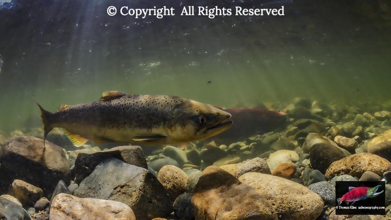 Chinook Salmon jack