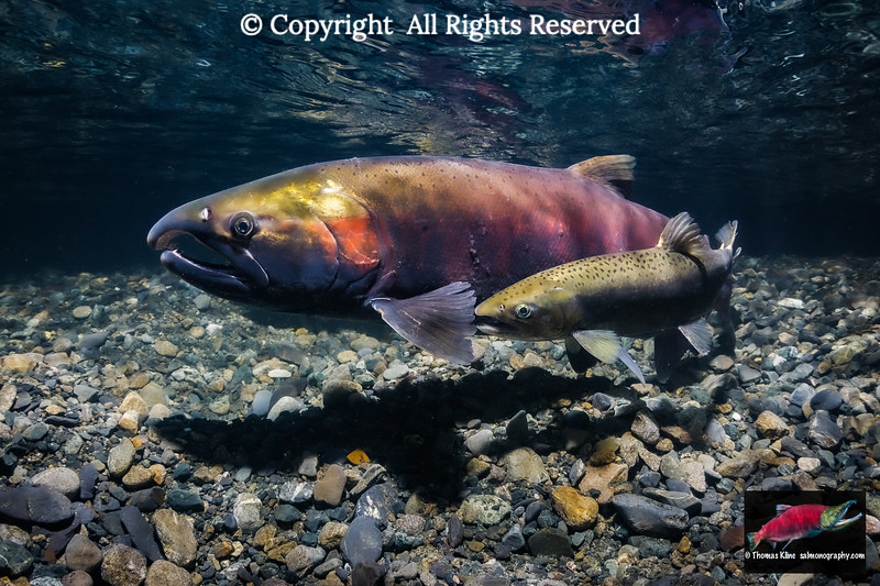 Coho Salmon female with a jack