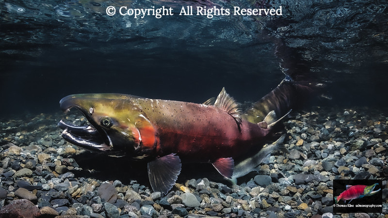 Coho Salmon commencing to spawn with a jack