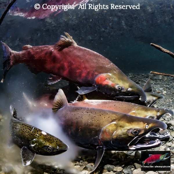 Coho Salmon in the act of spawning