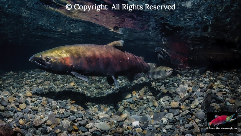 Coho Salmon female with a jack