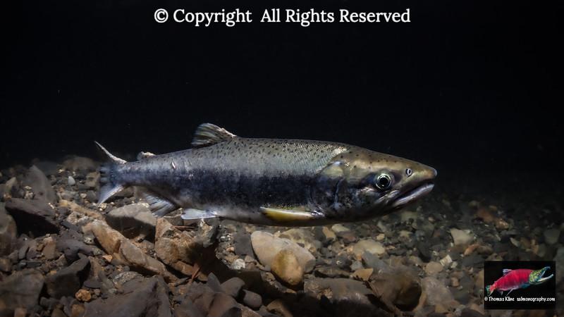 Coho Salmon jack
