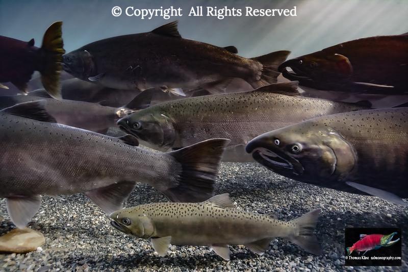 Jack among other Coho Salmon