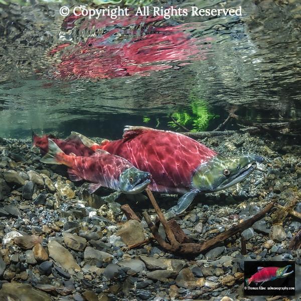 Male Sockeye Salmon spawning morphs
