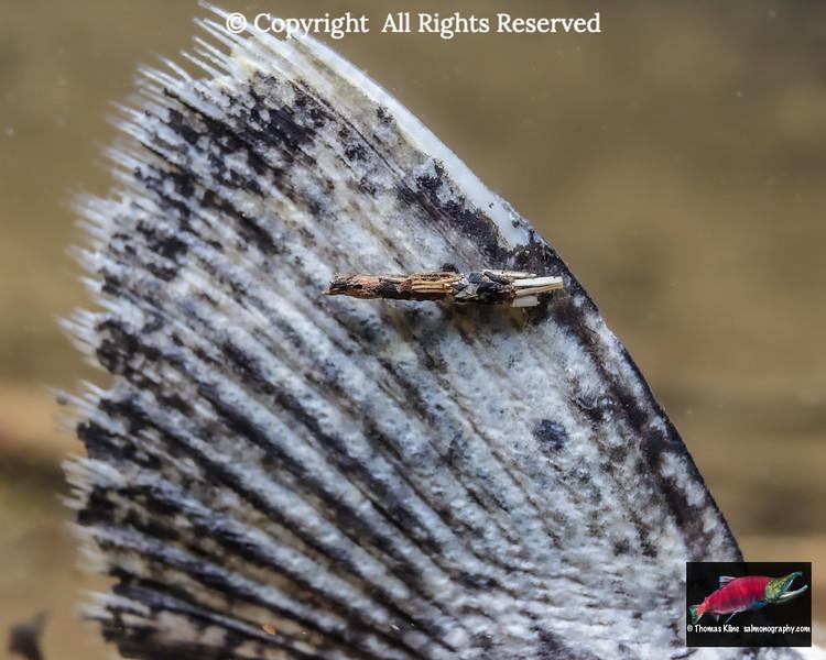 Caddisfly larva scavenger