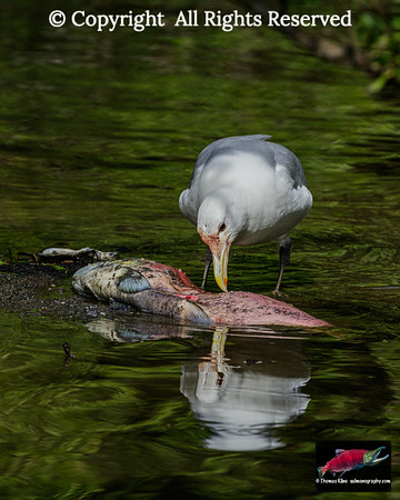 Glaucous-winged Gull dinning on the spawned-out male Sockeye Salmon