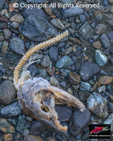 Male Coho Salmon skeletal remains