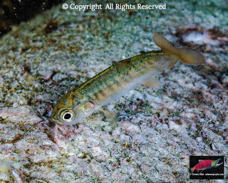 Coho Salmon fry feeding on Sockeye Salmon carcass