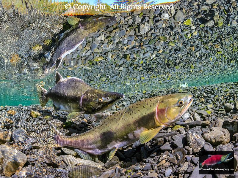 A female Pink Salmon probes her redd