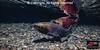 Coho Salmon probing