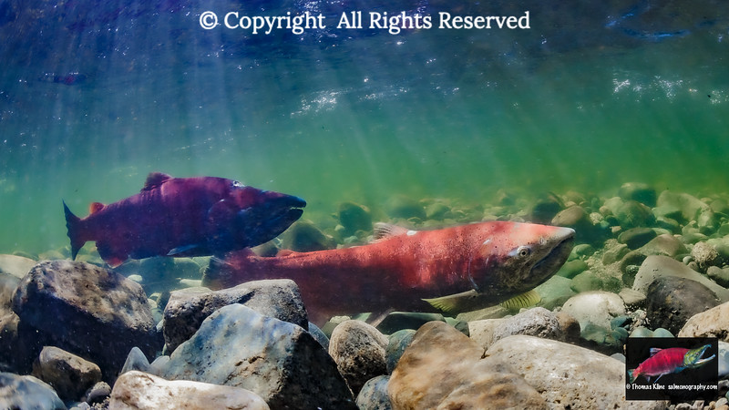 Female Chinook Salmon probes her redd