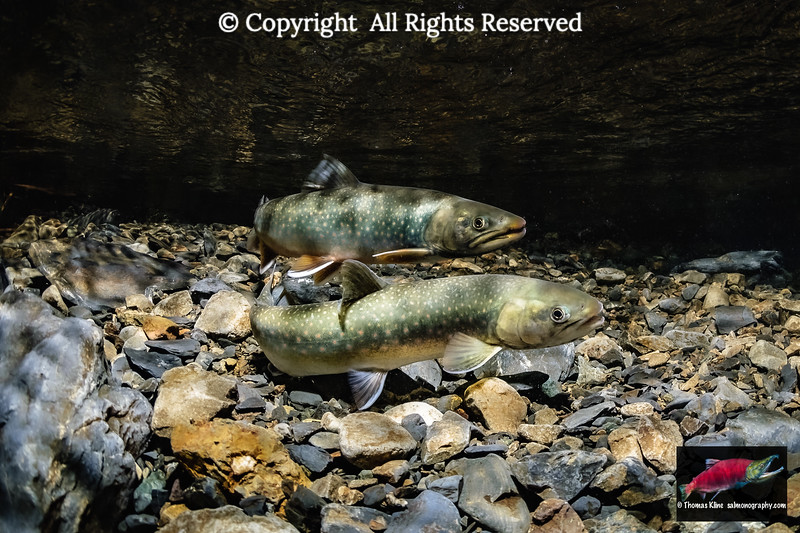 Dolly Varden spawning pair