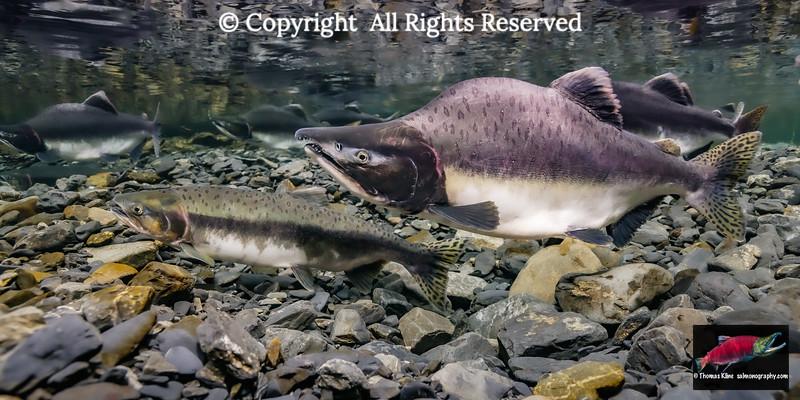 Pink Salmon spawning pair