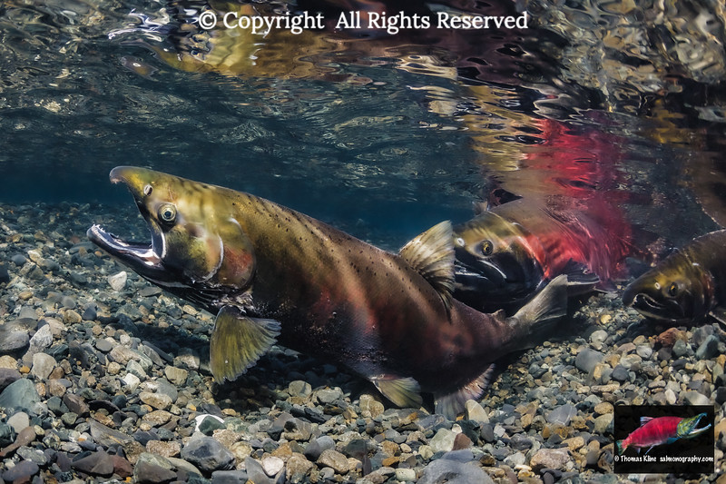 Coho Salmon female probing