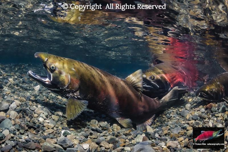 Coho Salmon female probing