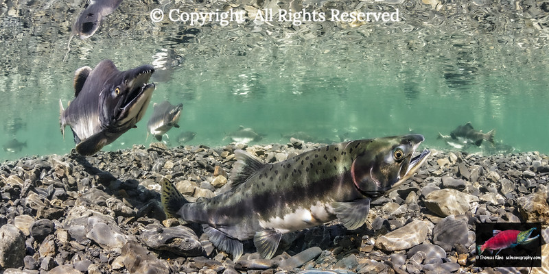 Pink Salmon female probing