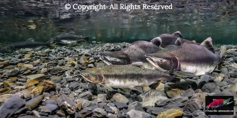 Pink Salmon female probing her redd